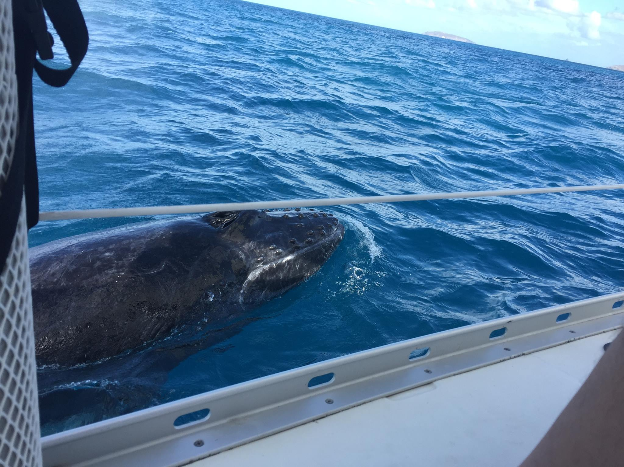 """Terric picture from Guest aboard the sailing yacht Fidelity in the BVI. """"What a way to end our trip. WHALES! We think a Momma and baby. The baby was playing with us swimming back and forth under the boat. Just fantastic!!! My heart is still racing. Better pictures to come. Thanks Capt Scott for spotting."""""""